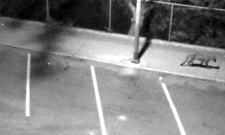 One of the mountain lion sightings in San Francisco captured on a security camera