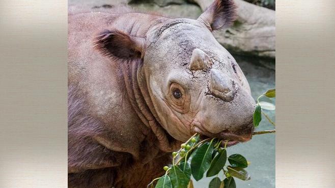 APNewsBreak: Ohio Zoo Sending Endangered Rhino to Indonesia