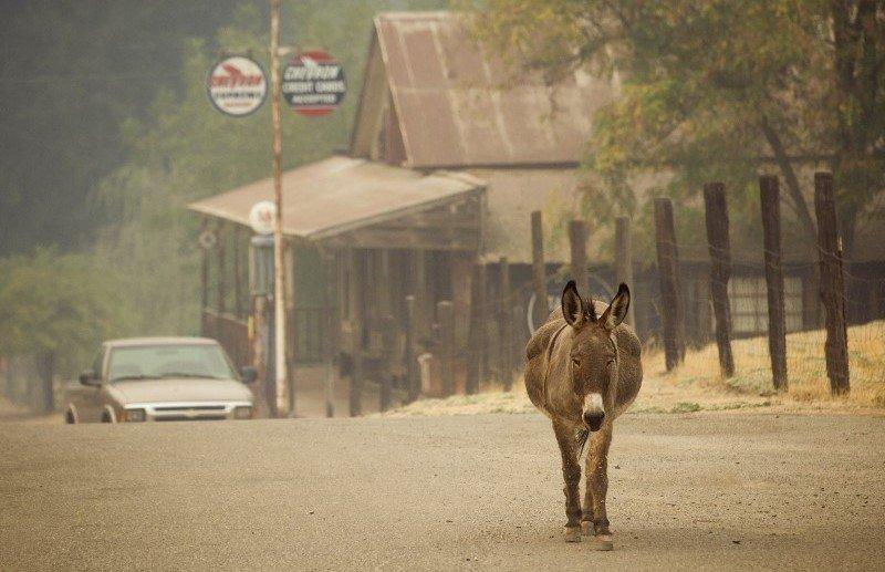 An animal walks up a street in the evacuated community of Sheep Ranch near San Andreas California
