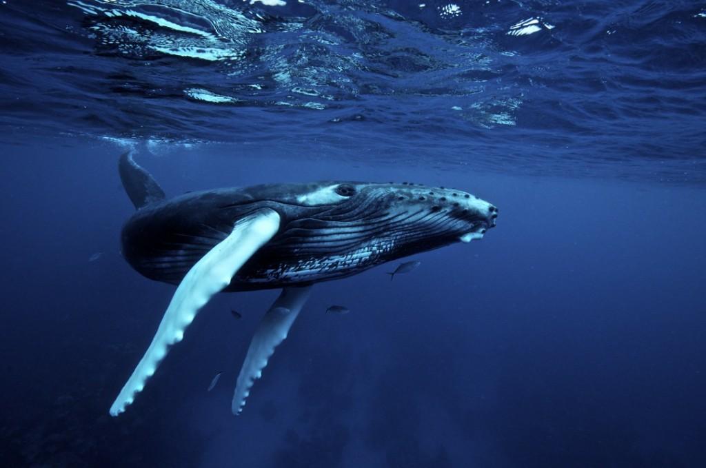 'humpback whales visit oregon