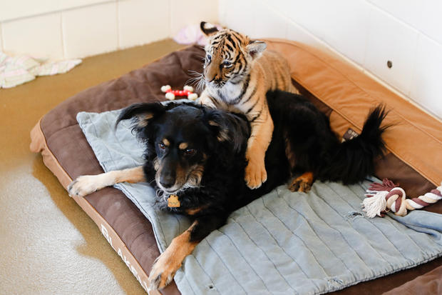 Adorable Zoo Babies German Shepherd Nurses Tiger Cubs