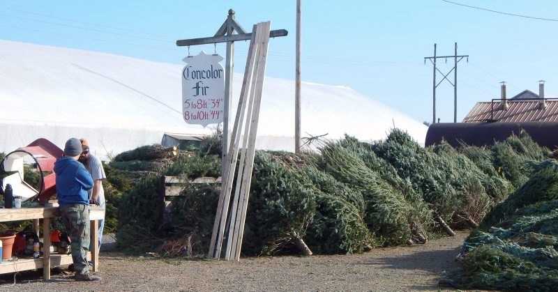 Why Are Natural Christmas Trees So Expensive This Year?
