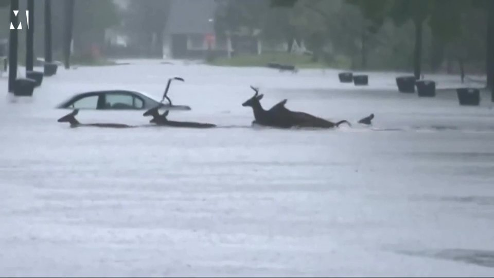 Herd of deer rush to safety during Hurricane Florence